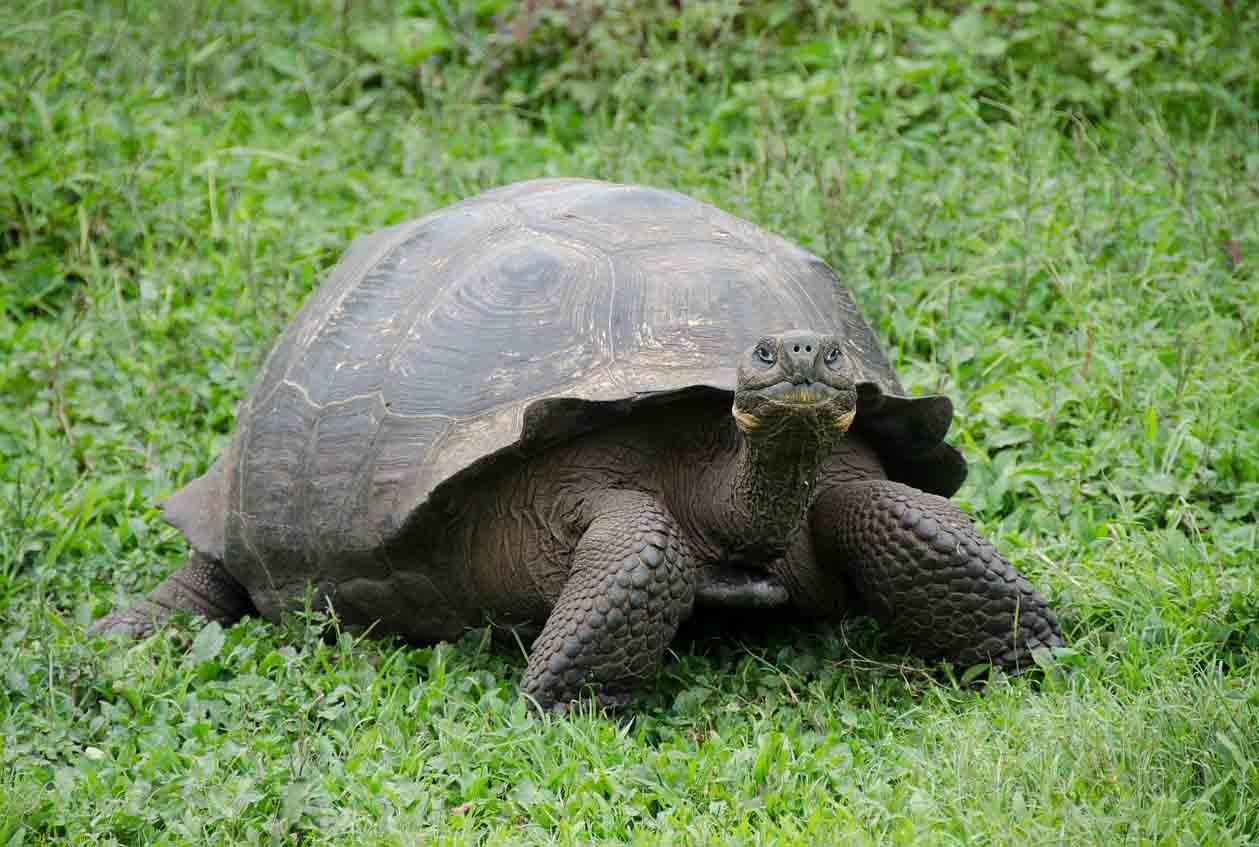 tortuga gigante en galapagos