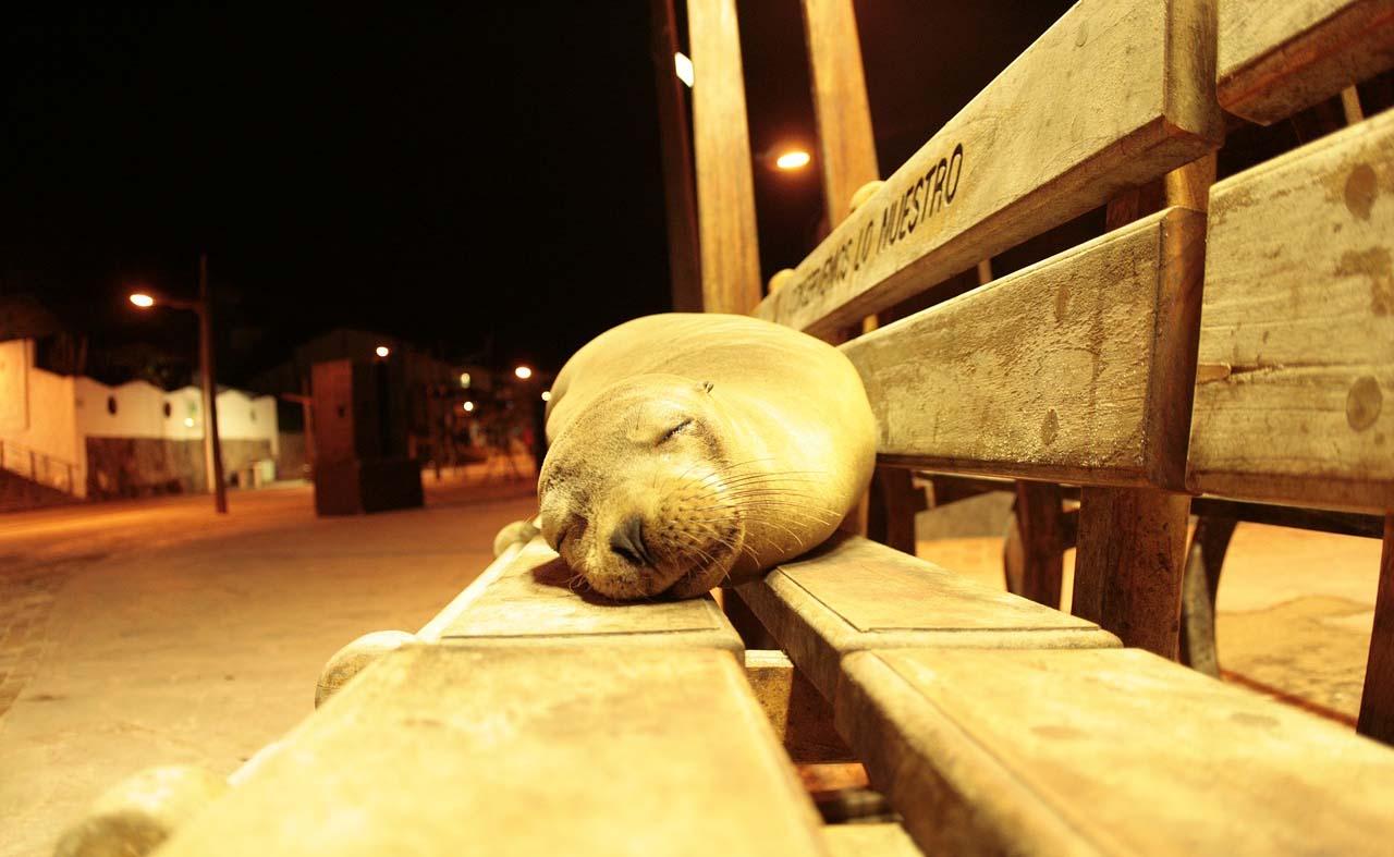 leon marino en banco de galapagos